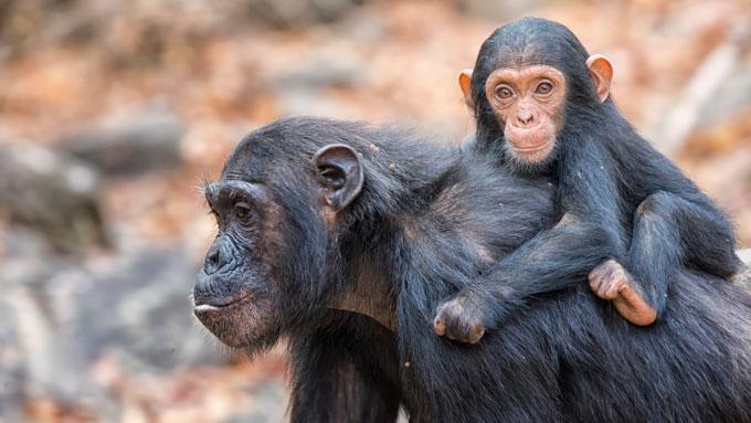 Parques Nacionales del Oeste de Tanzania chimpances